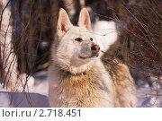 Купить «Сибирская лайка», фото № 2718451, снято 6 марта 2010 г. (c) Sergey / Фотобанк Лори