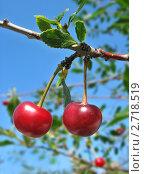 Купить «Две вишни на ветке на фоне голубого неба», фото № 2718519, снято 24 июля 2011 г. (c) Светлана Ильева (Иванова) / Фотобанк Лори