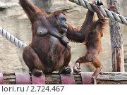 Купить «Самка орангутана (Pongo) с детенышем», эксклюзивное фото № 2724467, снято 19 июля 2011 г. (c) Алёшина Оксана / Фотобанк Лори