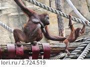 Купить «Самка орангутана (Pongo) с детенышем», эксклюзивное фото № 2724519, снято 19 июля 2011 г. (c) Алёшина Оксана / Фотобанк Лори