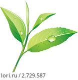 Купить «Зеленый чай», иллюстрация № 2729587 (c) Шикунец Татьяна / Фотобанк Лори