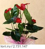 Антуриум. Anthurium. Стоковое фото, фотограф Петрова Надежда / Фотобанк Лори