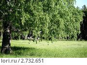 Береза на поляне. Стоковое фото, фотограф Юлия Петрова / Фотобанк Лори