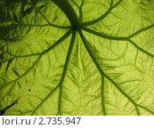 Купить «Растущий лист  астильбоидеса (Astilboides tabularis), семейство Камнеломковые», фото № 2735947, снято 1 июня 2011 г. (c) Заноза-Ру / Фотобанк Лори