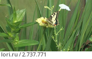 Купить «Бабочка махаон на цветке», видеоролик № 2737771, снято 19 декабря 2010 г. (c) Андрей Некрасов / Фотобанк Лори