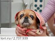 Купить «Девушка моет собаку», фото № 2737939, снято 9 августа 2011 г. (c) Шупейко Алексей / Фотобанк Лори