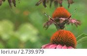 Купить «Бабочка адмирал (Vanessa atalanta) собирает нектар с цветка циннии», видеоролик № 2739979, снято 19 декабря 2010 г. (c) Андрей Некрасов / Фотобанк Лори