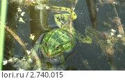 Купить «Зеленая лягушка в пруду», видеоролик № 2740015, снято 25 июля 2011 г. (c) Андрей Некрасов / Фотобанк Лори