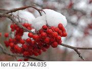 Купить «Зимняя рябина», фото № 2744035, снято 29 октября 2006 г. (c) Юлий Шик / Фотобанк Лори