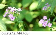 Купить «Мелкие розовые цветы», видеоролик № 2744403, снято 27 июля 2010 г. (c) Михаил Коханчиков / Фотобанк Лори