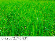 Купить «Зеленая трава, фон», фото № 2745831, снято 19 августа 2011 г. (c) Екатерина Овсянникова / Фотобанк Лори