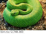 Змея, свернувшаяся в кольцо, фото № 2748383, снято 5 августа 2011 г. (c) Владимир Журавлев / Фотобанк Лори