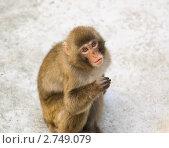 Купить «Японский макак (Macaca fuscata)», эксклюзивное фото № 2749079, снято 12 июля 2011 г. (c) Алёшина Оксана / Фотобанк Лори