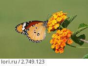 Купить «Бабочка Danaus plexippus (Монарх)», фото № 2749123, снято 21 мая 2011 г. (c) Александр Тарасенков / Фотобанк Лори