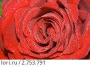 Красный распустившийся бутон розы. Стоковое фото, фотограф Вадим Субботин / Фотобанк Лори