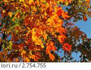 Купить «Яркие осенние листья клена на фоне голубого неба», фото № 2754755, снято 6 октября 2009 г. (c) Татьяна Савватеева / Фотобанк Лори