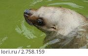 Купить «Тюлень», видеоролик № 2758159, снято 4 августа 2011 г. (c) Алексас Кведорас / Фотобанк Лори