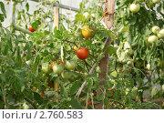 Созревание помидора в парнике. Стоковое фото, фотограф Евгений Разумовский / Фотобанк Лори