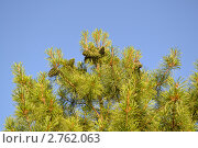 Кедровые шишки на верхушке кедра. Стоковое фото, фотограф Мария Кобылина / Фотобанк Лори