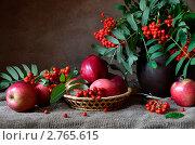 Купить «Осенний натюрморт  с рябиной и яблоками», фото № 2765615, снято 1 сентября 2011 г. (c) Julia Ovchinnikova / Фотобанк Лори