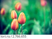 Тюльпаны на зеленом фоне. Стоковое фото, фотограф Елена Круглова / Фотобанк Лори