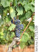 Купить «Гроздь винограда», фото № 2772539, снято 20 августа 2010 г. (c) Владимир Журавлев / Фотобанк Лори