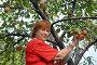 Женщина собирает с дерева яблоки сорта Прима, эксклюзивное фото № 2772887, снято 3 сентября 2011 г. (c) Анна Мартынова / Фотобанк Лори
