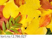 Купить «Желтые и красные осенние листья», фото № 2786027, снято 2 октября 2010 г. (c) Максим Лоскутников / Фотобанк Лори