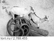 Козы. Стоковое фото, фотограф Анна Нимченко / Фотобанк Лори