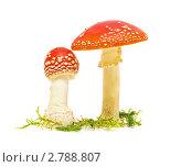 Купить «Мухоморы», фото № 2788807, снято 4 сентября 2011 г. (c) Ласточкин Евгений / Фотобанк Лори