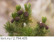 Купить «Кедр. Кедровые шишки», фото № 2794435, снято 1 сентября 2011 г. (c) Sergey / Фотобанк Лори