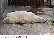 Купить «Белый медведь в зоопарке спит лежа ничком», фото № 2799751, снято 13 сентября 2011 г. (c) Елена Ермоленко / Фотобанк Лори