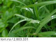 Мокрая трава после дождя. Стоковое фото, фотограф Нелинов Сергей / Фотобанк Лори