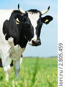 Купить «Черно-белая корова на лугу», фото № 2805459, снято 16 июня 2019 г. (c) Дмитрий Калиновский / Фотобанк Лори