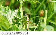 Купить «Зеленый кузнечик», видеоролик № 2805751, снято 17 сентября 2011 г. (c) Алексас Кведорас / Фотобанк Лори