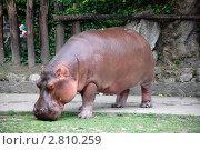Купить «Венгрия. Будапешт. Зоопарк. Бегемот», фото № 2810259, снято 9 июня 2011 г. (c) Елена Соломонова / Фотобанк Лори