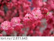 Веточка цветущей розовый сакуры (Prunus serrulata) Стоковое фото, фотограф Ольга Липунова / Фотобанк Лори
