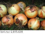 Купить «Головки лука», фото № 2815639, снято 24 августа 2011 г. (c) Елена Гордеева / Фотобанк Лори