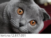 Купить «Интерес симпатичного британского кота на белом фоне», фото № 2817051, снято 13 февраля 2011 г. (c) Останина Екатерина / Фотобанк Лори