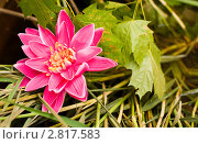 Розовый цветок на фоне кленовых листьев и соломы. Стоковое фото, фотограф Анна Назарова / Фотобанк Лори