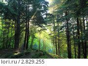 Лучи в летнем лесу. Стоковое фото, фотограф Дмитрий Воробьев / Фотобанк Лори