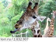 Купить «Жирафы», фото № 2832907, снято 12 ноября 2010 г. (c) Хайрятдинов Ринат / Фотобанк Лори