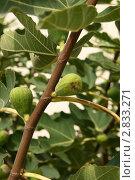 Купить «Инжир (фига, фиговое дерево, смоковница, смоква, винная ягода; Ficus carica L.)», эксклюзивное фото № 2833271, снято 13 августа 2011 г. (c) Щеголева Ольга / Фотобанк Лори