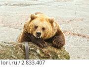 Купить «Медведь в зоопарке», фото № 2833407, снято 17 сентября 2011 г. (c) Юлия Бабкина / Фотобанк Лори