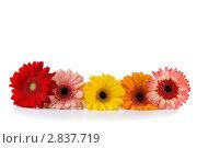 Герберы. Стоковое фото, фотограф Елена Блохина / Фотобанк Лори