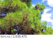Купить «Ветка сосны с шишкой. Акцент фокуса на шишках», фото № 2838475, снято 12 сентября 2011 г. (c) Vitas / Фотобанк Лори