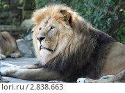 Купить «Лев в вольере зоопарка», эксклюзивное фото № 2838663, снято 6 сентября 2011 г. (c) Дмитрий Неумоин / Фотобанк Лори