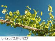 Виноград на фоне неба. Стоковое фото, фотограф Андрей Пех / Фотобанк Лори