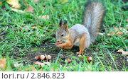 Купить «Белка берет орех», видеоролик № 2846823, снято 3 октября 2011 г. (c) Сергей Лаврентьев / Фотобанк Лори