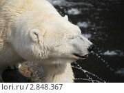 Белый медведь. Стоковое фото, фотограф Владимир Одегов / Фотобанк Лори